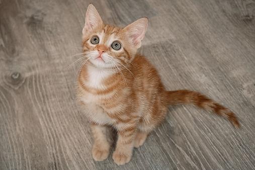adoptable kitten.jpg