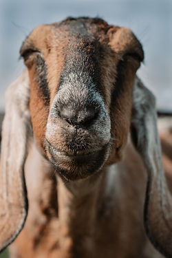 farm animal photography.jpg