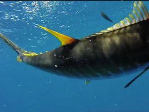 underwater tuna.jpg