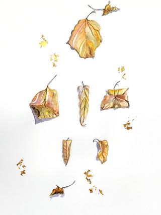 feuilles d'hovania séchées (hiver)