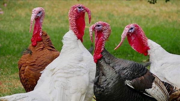 Turkey Gaggle.jpg