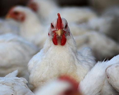 Poultry Shrink Bag Chicken