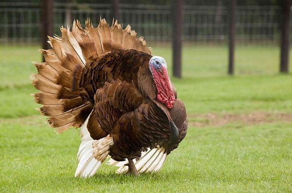 Turkey shrink bags for Canada
