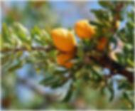 fruit argan.JPG