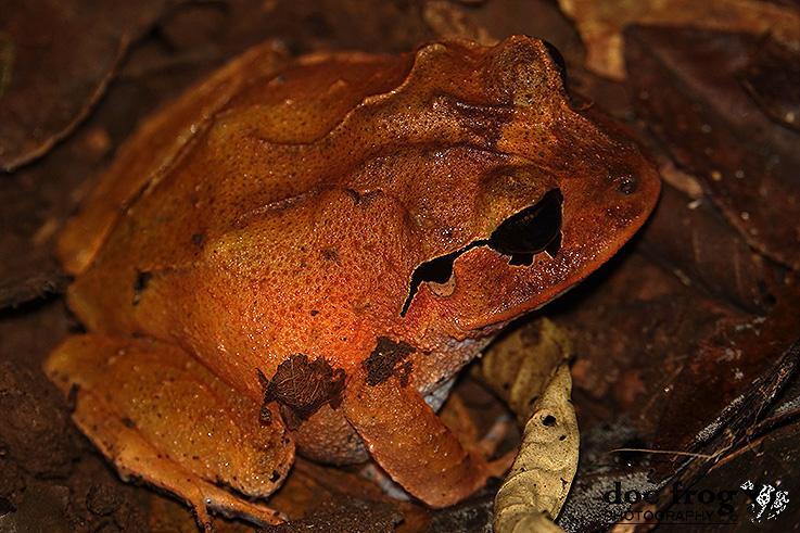 Craugastor megacephalus