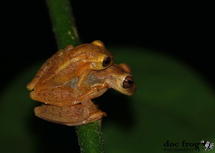 Dendropsophus phlebodes