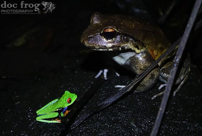 meeting friends_ Agalychnis callidryas meets Leptodactylus savagei
