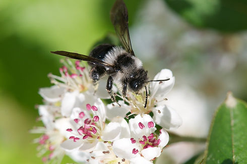 spring-furry-bee-on-aroniablute-1269780_