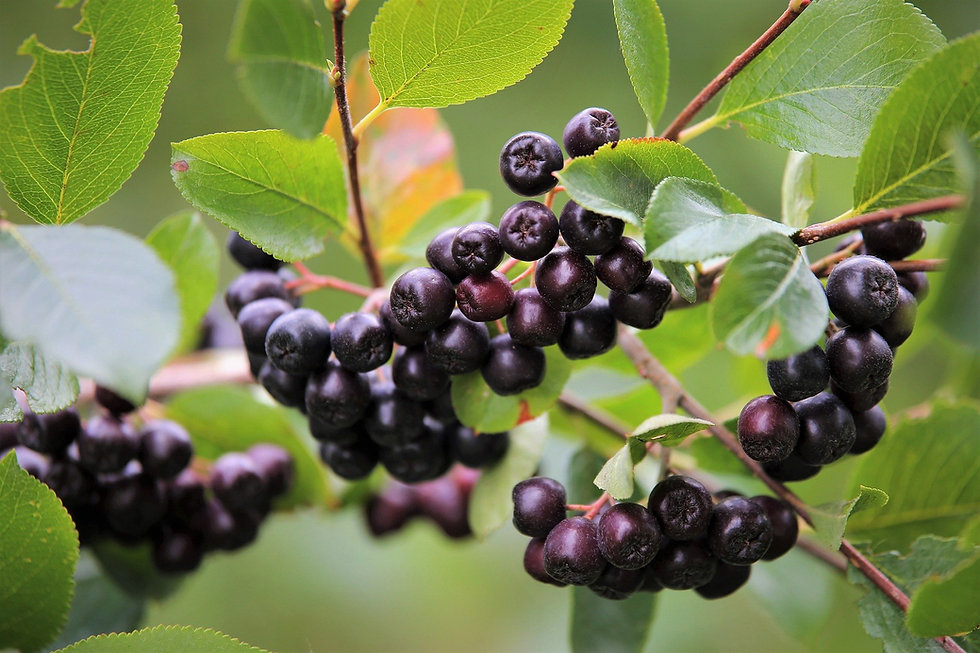 aronia-berries-5417277_1920.jpg