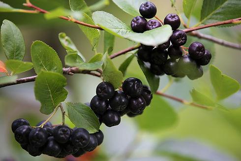 aronia-berries-5417296_1920.jpg