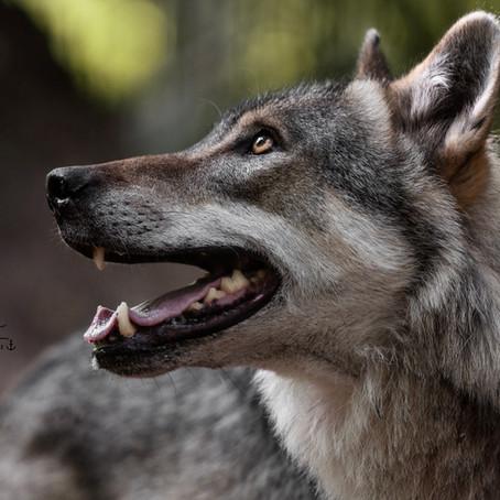 Auf Augenhöhe mit den Wölfen!