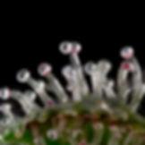 twintrichome-Edit.jpg