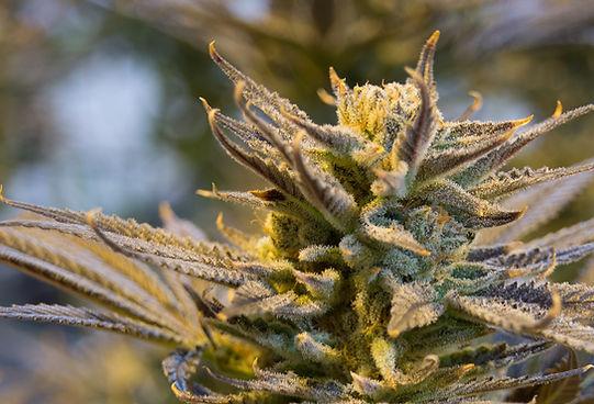cannabis-2152602_1920.jpg