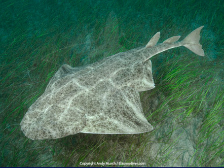 July Elasmobranch of the Month: Common Angelshark