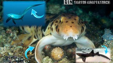 Shark Adaptations with Jillian Morris