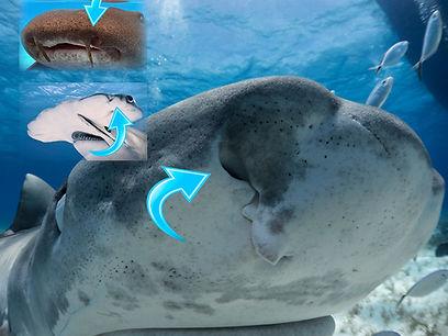Sharksmelllow.jpg