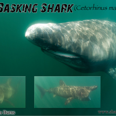 March 2015 Shark of the Month: Basking Shark