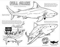 bullshark sharks4kids.jpeg