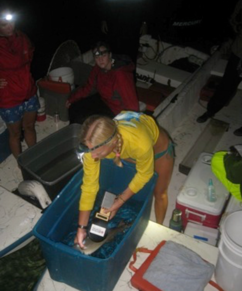 Enie scanning the PIT tag of a juvenile lemon shark while working with Bimini Sharklab