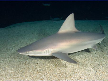 February Elasmobranch of the Month: Sandbar Shark