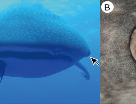 "Whale Sharks Have Tiny ""teeth"" Around Their Eyes"