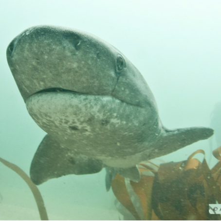May 2015 Shark of the Month: Broadnose Sevengill