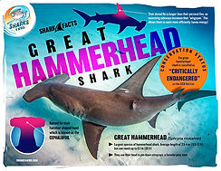 great hammerhead facts low.jpg