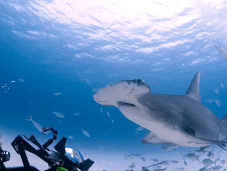 Amazing Places around the World to See (and swim!) with Sharks