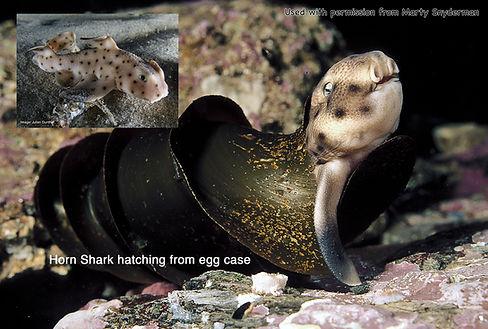HornShark Sharks4Kids .jpg