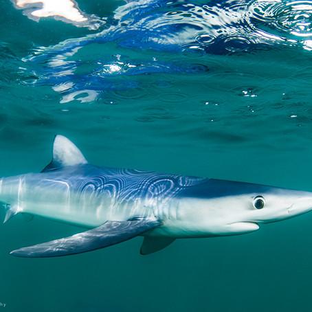 April Elasmobranch of the Month: The Blue Shark