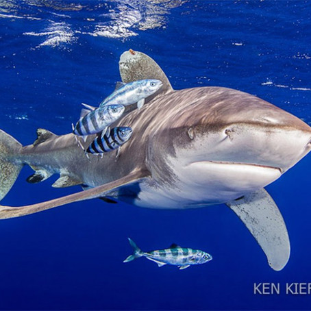 October Elasmobranch of the Month: Oceanic Whitetip Shark
