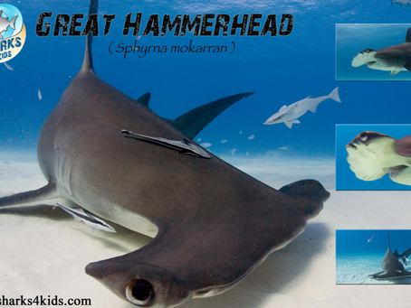 April 2015 Shark of the Month: Great Hammerhead