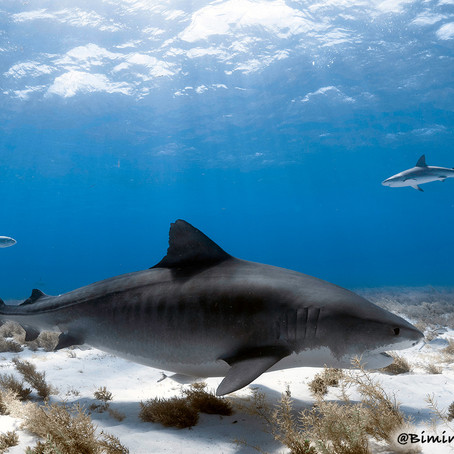 August Elasmobranch of the Month: Tiger Shark