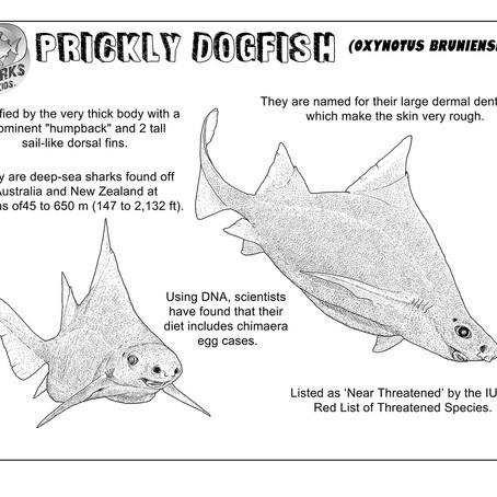 August Elasmobranch of the Month: Prickly Dogfish