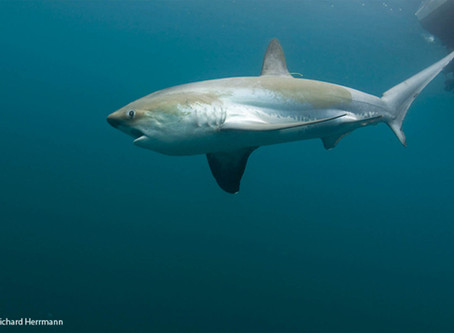 June Elasmobranch of the Month: Common Thresher Shark