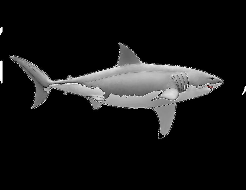 white shark .png