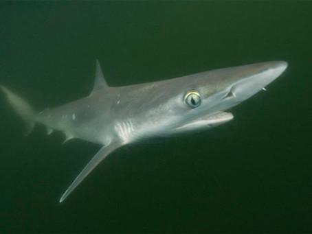 November Elasmobranch of the Month: Atlantic Sharknose Shark