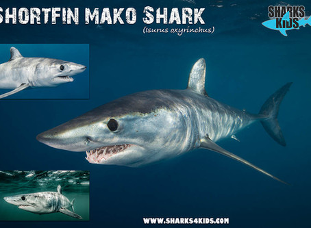 May Elasmobranch of the Month: Shortfin Mako