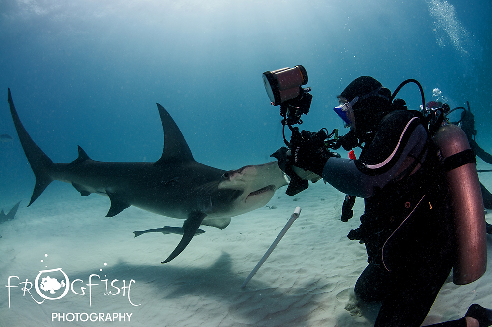 Carolina photographing a great hammerhead Credit: Nick Robertson-Brown