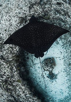 spotted eagle ray facts.jpg