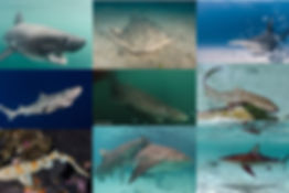 sharkcoloration.jpg