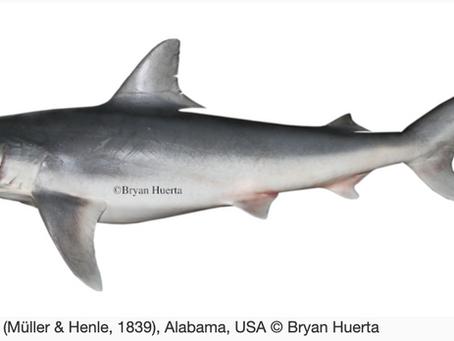 September Elasmobranch of the Month: Finetooth Shark