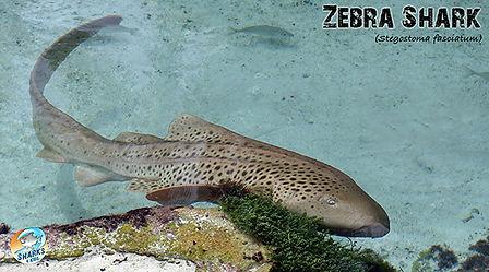 Zebra Shark.jpg