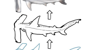 How to Draw a Winghead Shark with Dr. Julius Csotonyi