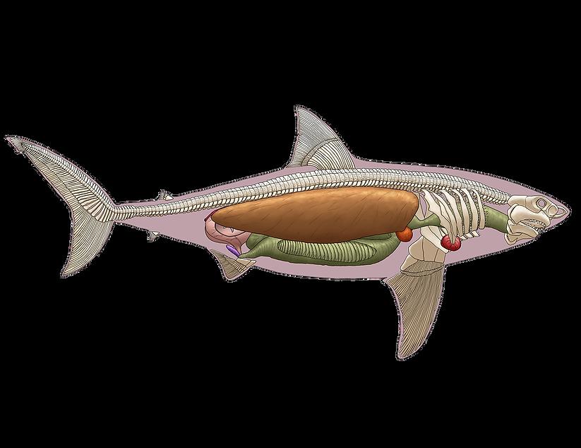 Shark Internal Anatomy outline.png