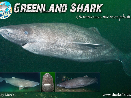 October Elasmobranch of the Month: Greenland shark