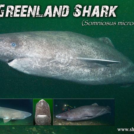 October Elasmobranch of the Month: Greenland shark