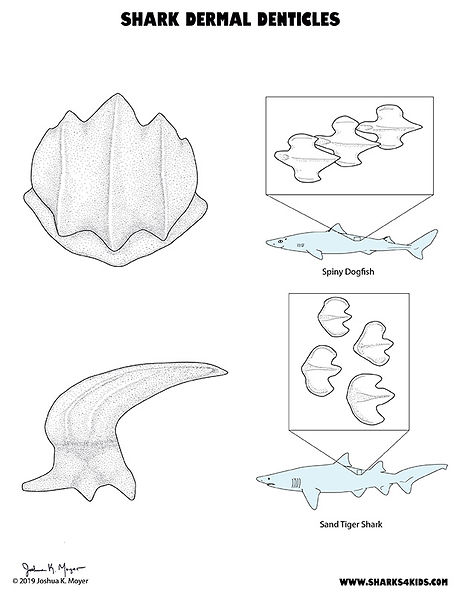 Shark Dermal Denticles Diagram low.jpg