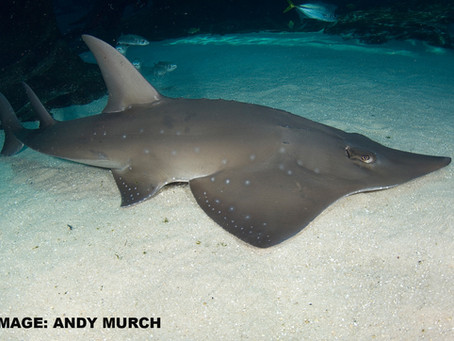 June Elasmobranch of the Month: White-spotted Wedgefish