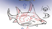 How to Draw a Caribbean Rough Shark with Dr. Julius Csotonyi